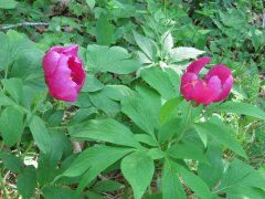 Peonia officinale.JPG